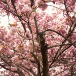 ( Cherry Blossoms // Wright Park, Tacoma, WA )