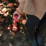 ( Apple picking // Jones Creek Farms, Burlington, WA )